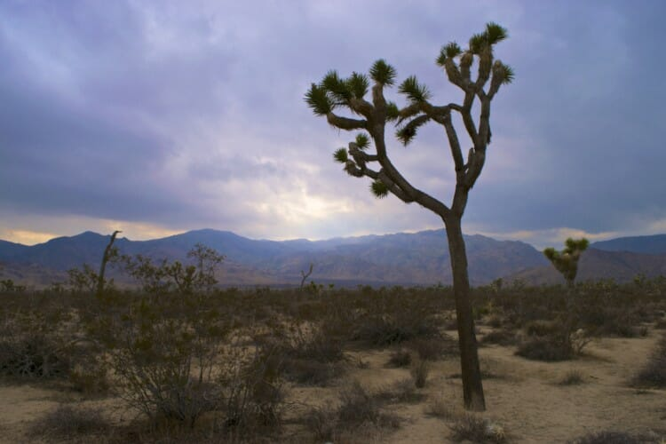 what is a joshua tree