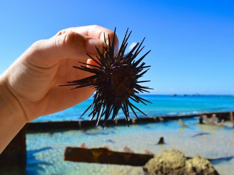 hiii lil urchin