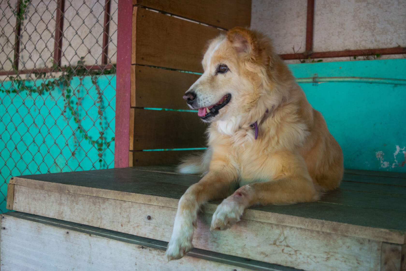 Volunteering at Care for Dogs Chiang Mai Thailand dog shelter thailand
