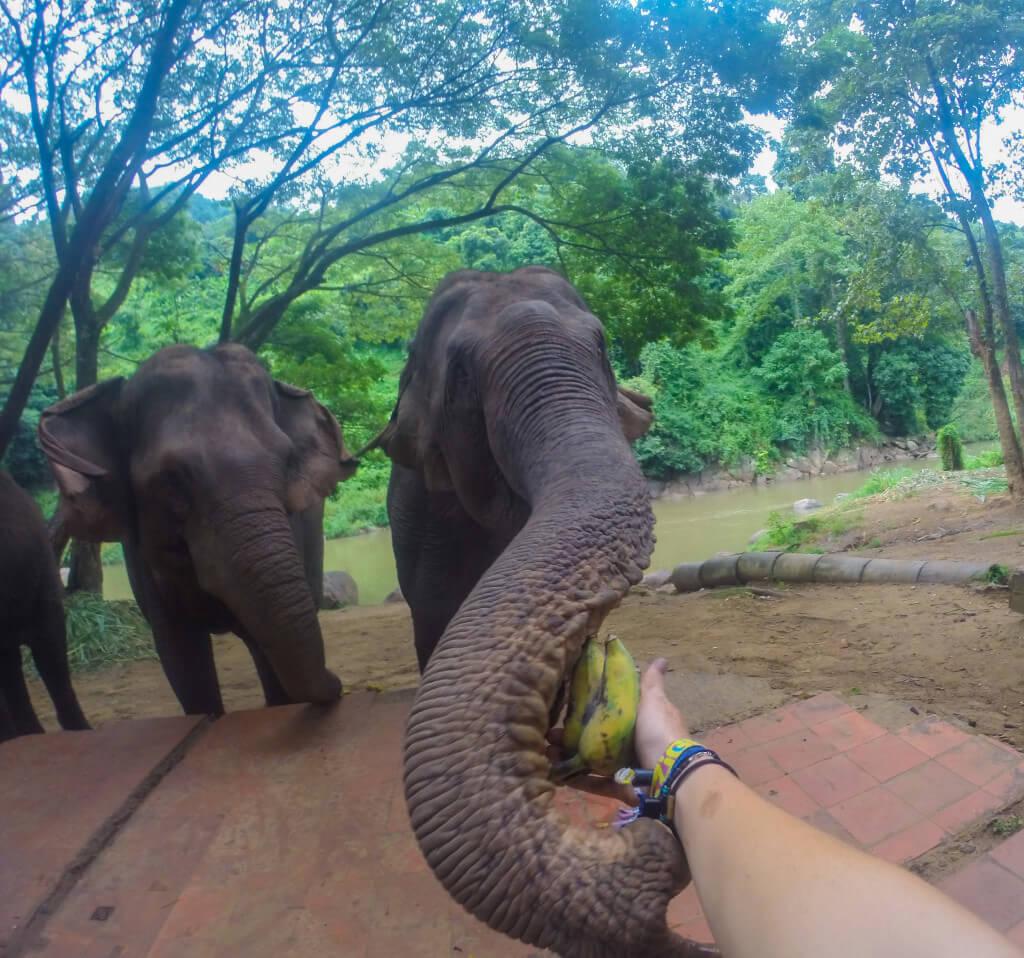 Chiang Mai elephant tour feeding elephants