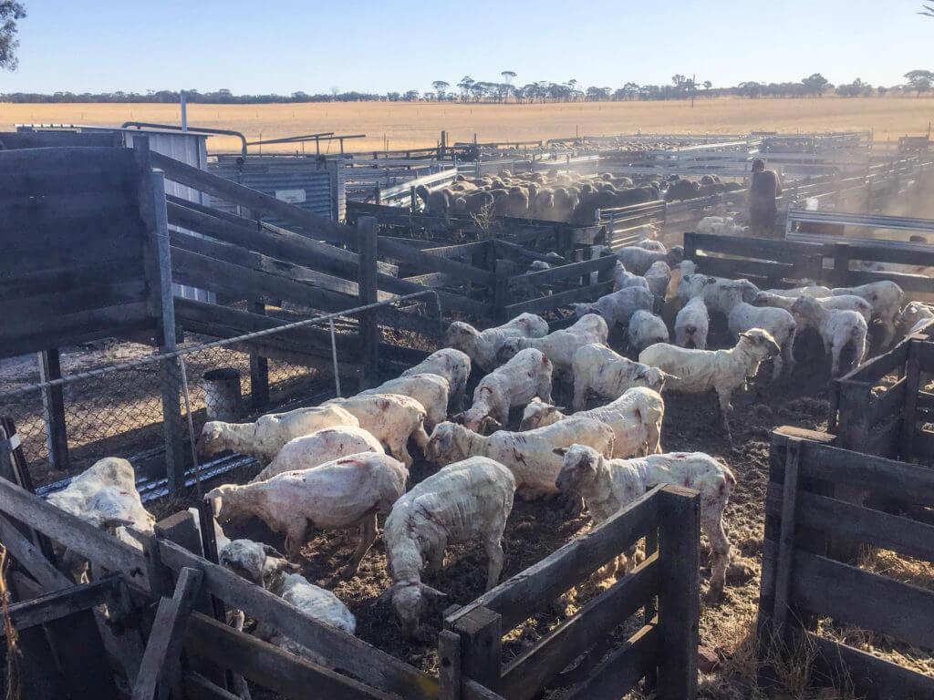 sheepshearing-27