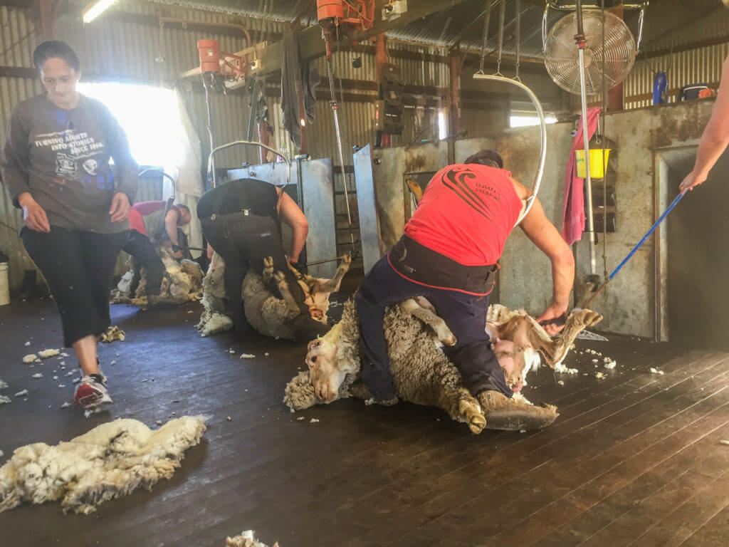 sheep shearing western australia