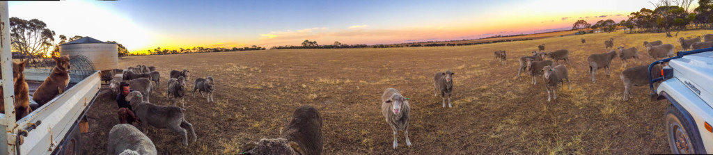 feeding sheep western australia kukerin