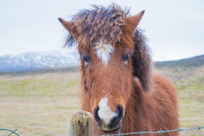 saving money in iceland ponies