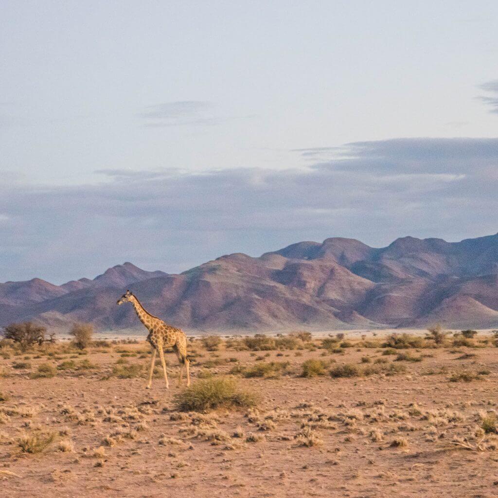 namibian road trip sossus desert camping wildlife giraffe