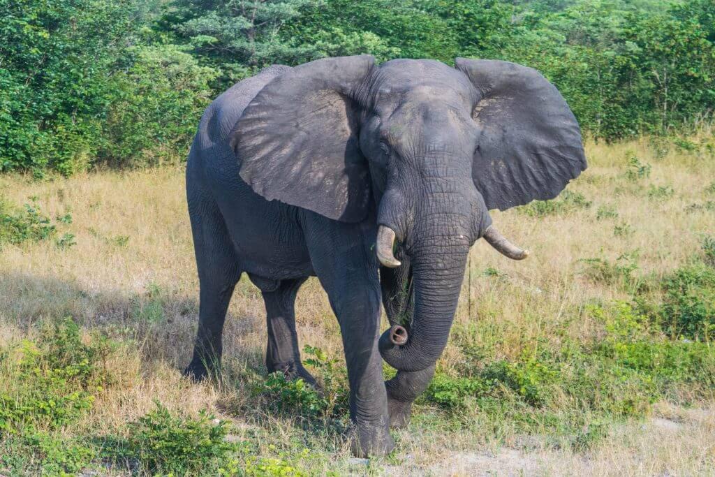 wild african elephant botswana