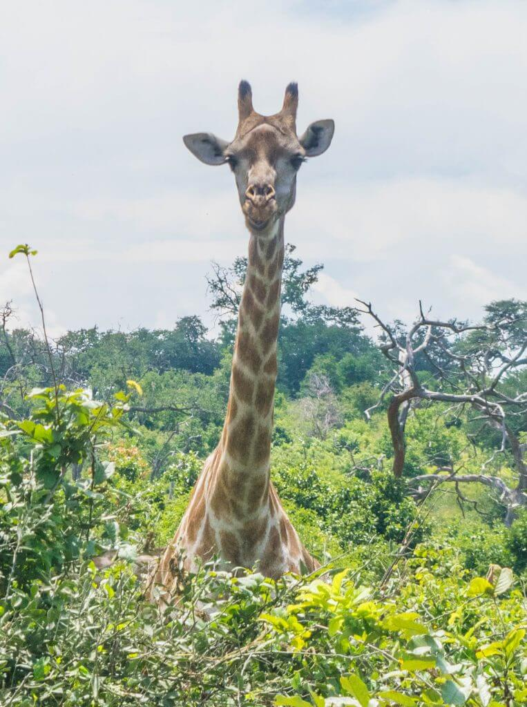 chobe national park botswana african adventure tour giraffe