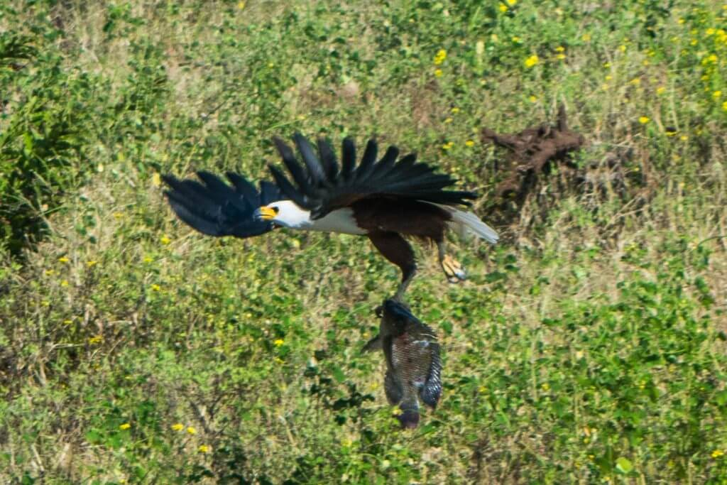 chobe national park botswana african adventure tour boat cruise fish eagle