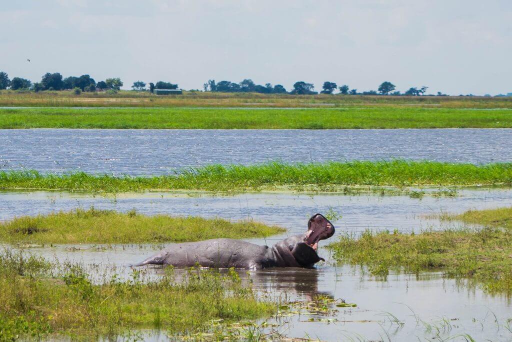 chobe national park botswana african adventure tour yawning hippo