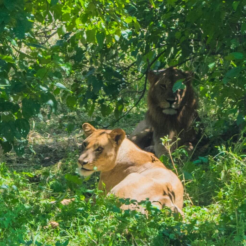 chobe national park botswana african adventure tour lion and lioness