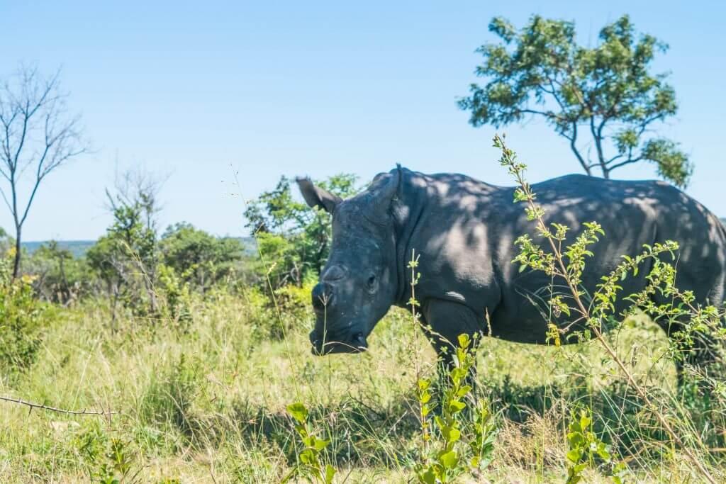 Rhinos Zimbabwe Matobo rhino poaching problem africa