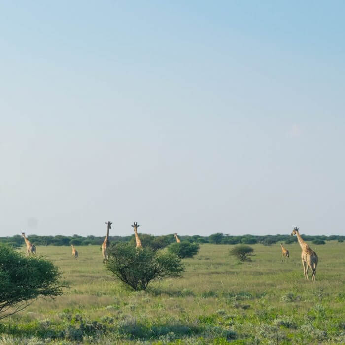 etosha national park namibian roadtrip giraffes