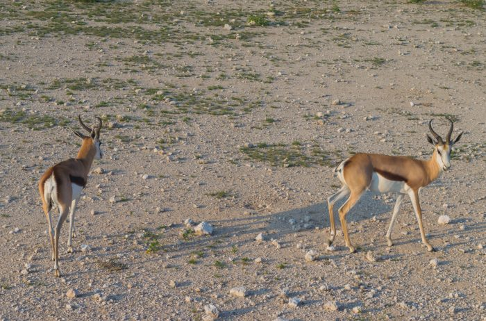 etosha national park namibian roadtrip springbok