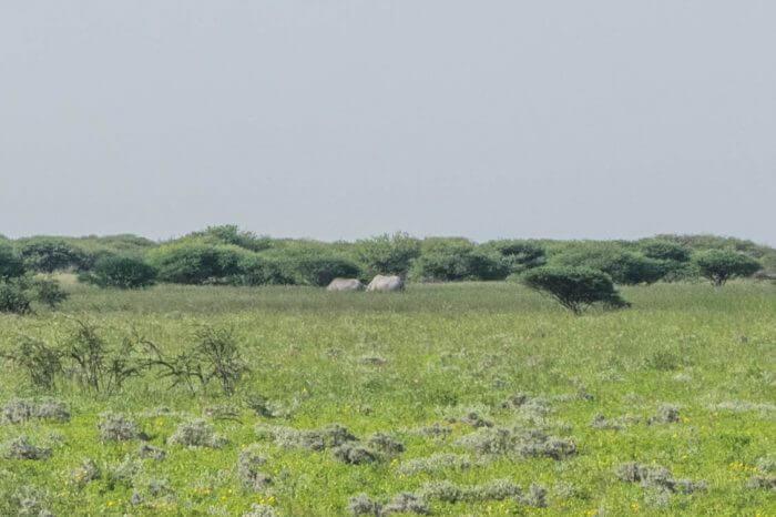 rhinos etosha national park