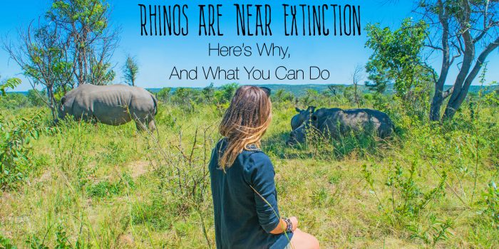 Why Are Rhinos Going Extinct? Here's Why, and What You Can Do to Help.