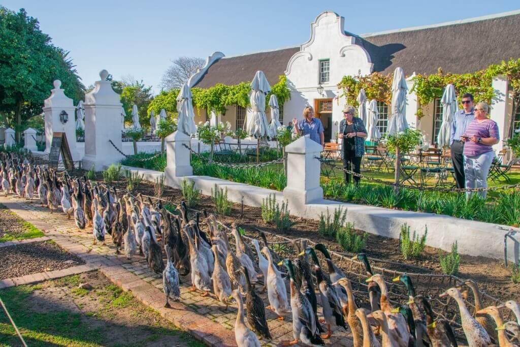 duck parade vergengoed winery wine tasting in cape town vineyards stellenbosch