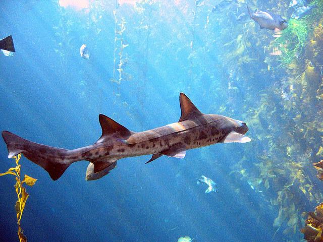 leopard sharks la jolla