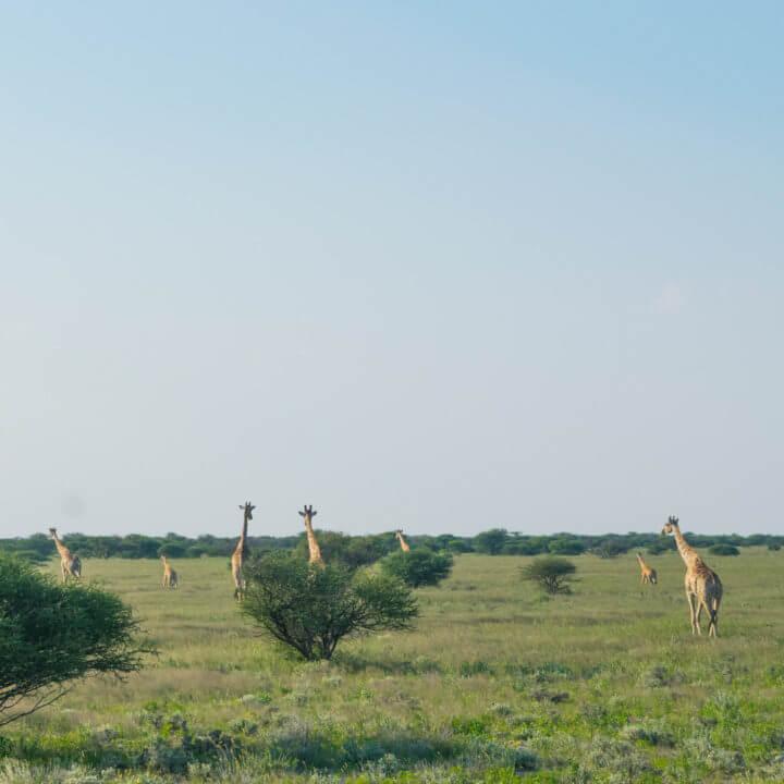 Namibia Road Trip africa Etosha NP giraffes