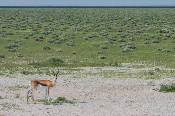 Namibia Road Trip africa Etosha NP springbok