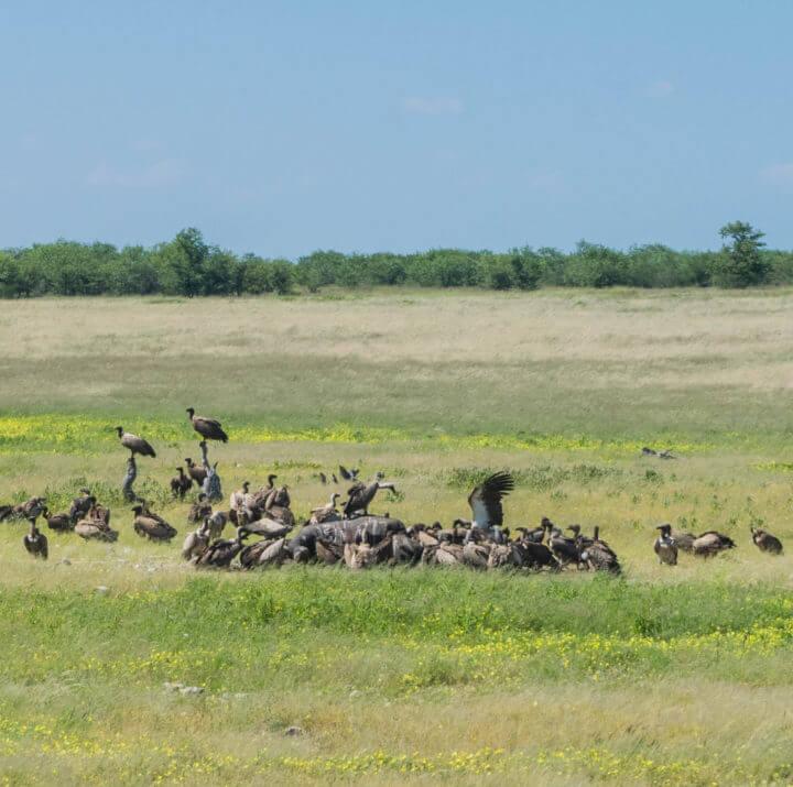 Namibia Road Trip vultures eating elephant etosha national park
