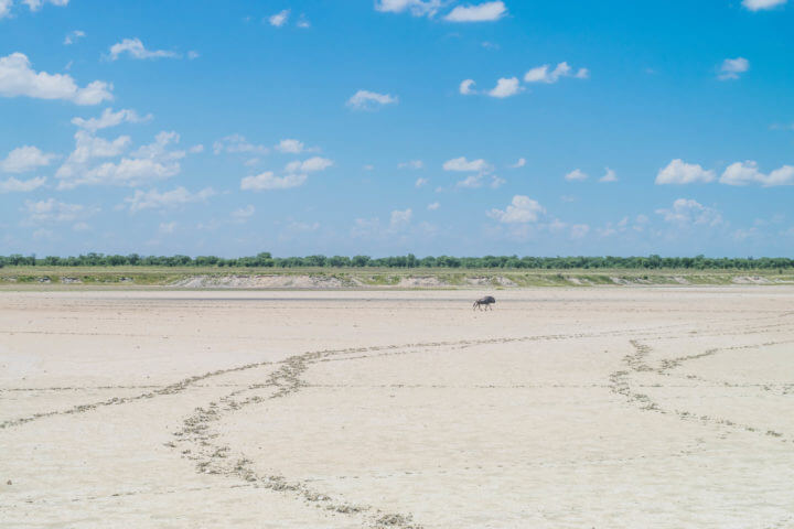 Namibia Road Trip etosha national park wildebeest
