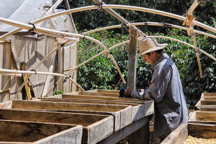 coffee in central america boquete pabnama coffee plantation